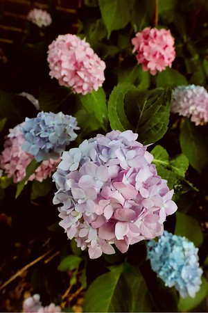 """Hydrangea in Bloom"" (photography) by Melissa Jongkind"