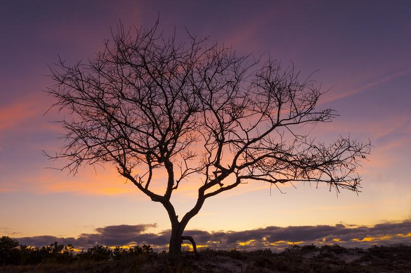 Barrier Island Tree Sunrise.jpg