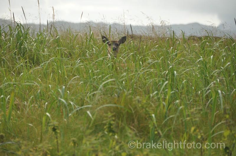 Black Tailed Deer on  Gillian Tombolo