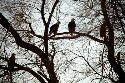 American Bald Eagles