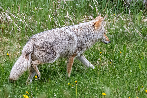 6-15-20 Coyote - Hunting