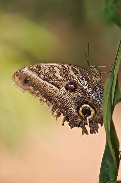 Owl Butterfly (Caligo sp.)