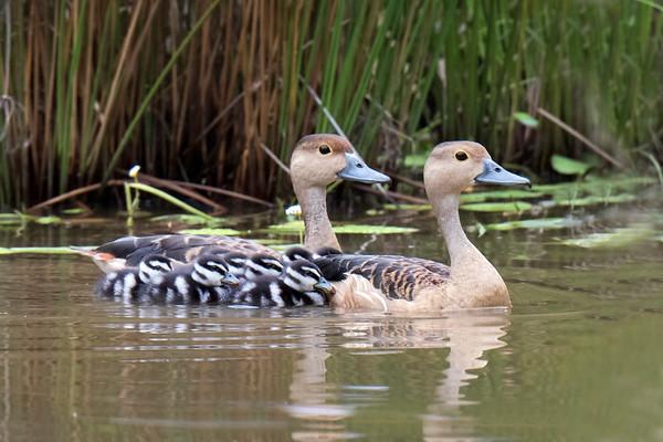 Ducks, Jungle Fowl & Swan (3 Species)