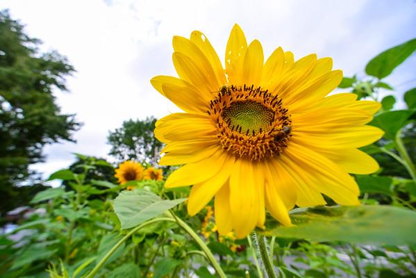 Sunflowers - 081716