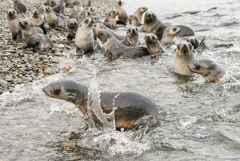 Seals_Fur_Stromness_South Georgia-10.jpg