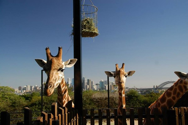 two giraffes facing the camera