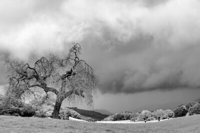 California Oak B&W