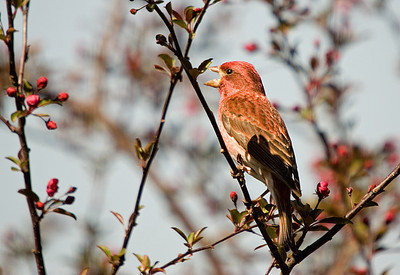 Finch - Purple Finch