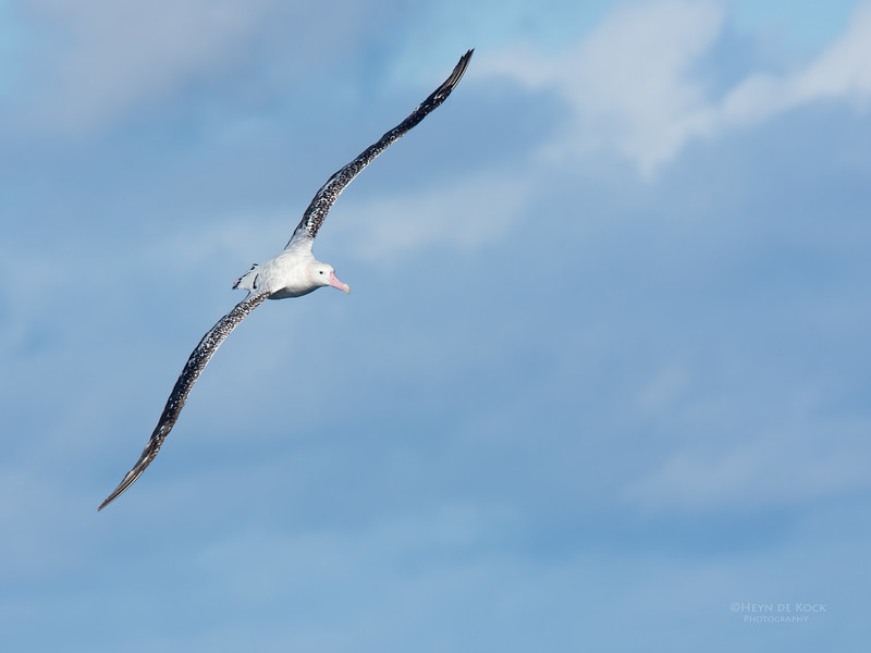 Antipodean Albatross, Eaglehawk Neck Pelagic, TAS, May 2016-2.jpg