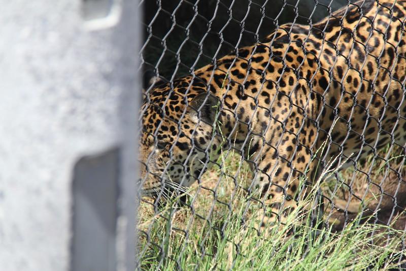 20170807-084 - San Diego Zoo - Leopard.JPG