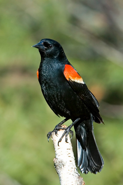 Blackbird - Red-winged - male - Dunning Lake, MN - 01
