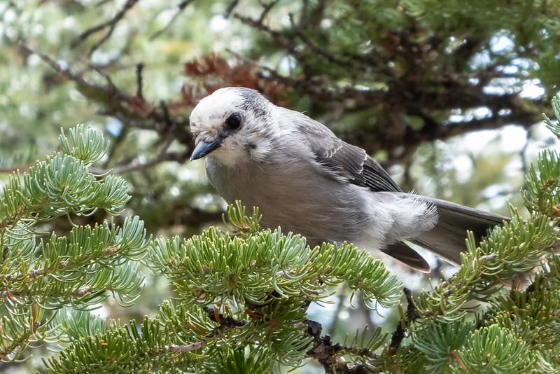 Gray Jay (aka Canada Jay)