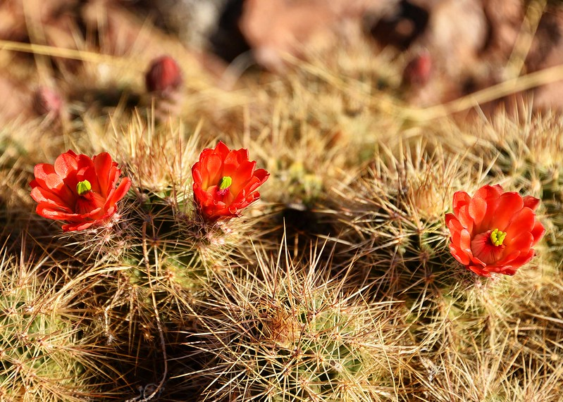 NEA_6826-7x5-Cactus Flowers.jpg