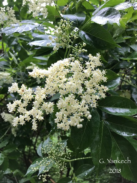 Common (White)  Elderberry