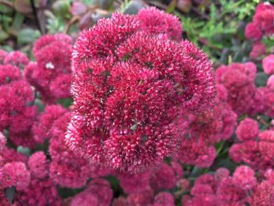 Sedum 'Red Cauli' close-up