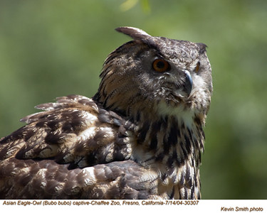 AsianEagleOwl30307.jpg
