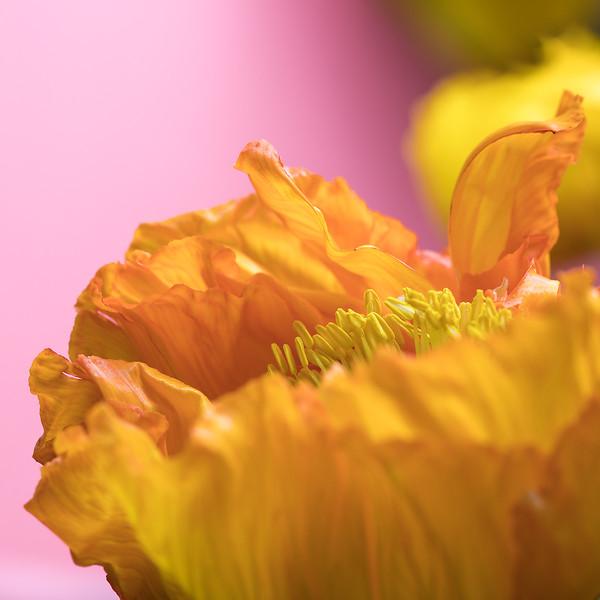 poppy-04.jpg
