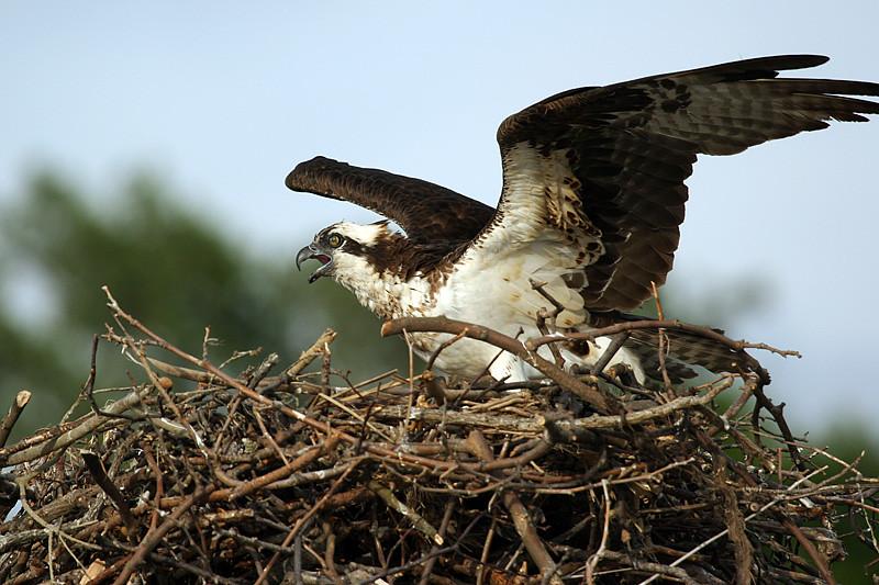 osprey-3_159698743_o.jpg