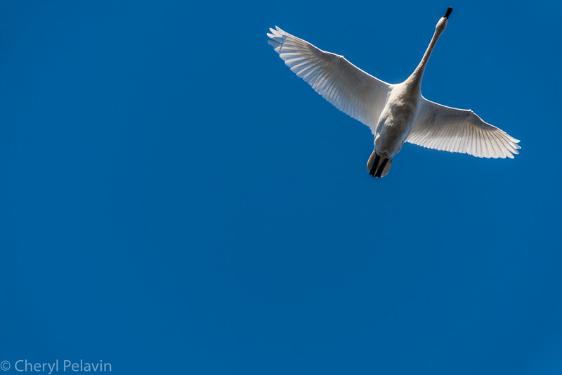 Single Flying Swan