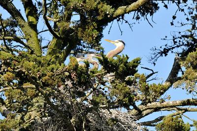 2010 Golden Gate Park - Great Blue Herons