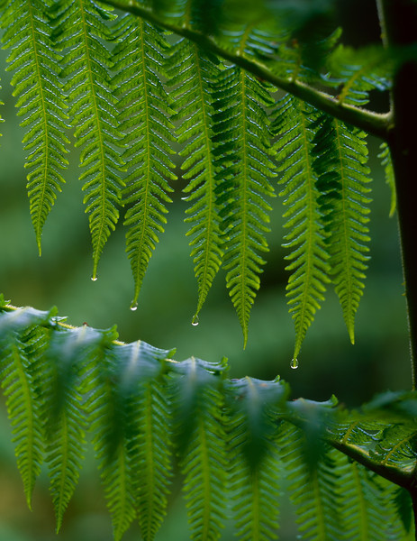 El Triunfo Biosphere Reserve, Chiapas, MEX / Ferns dripping with rain drops during downpour in the dense forest understory. 408V2