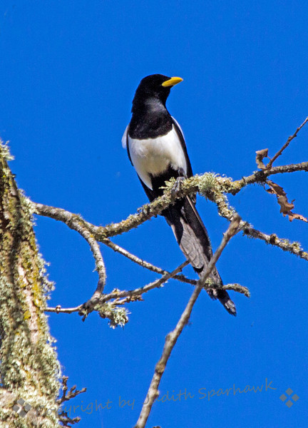 Magpie Perching High