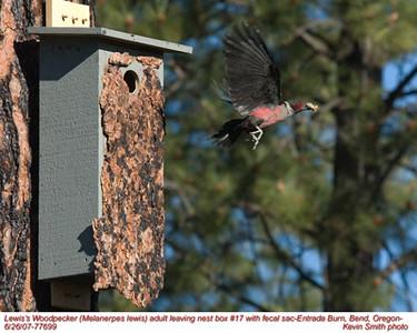 Lewis'WoodpeckerA77699.jpg