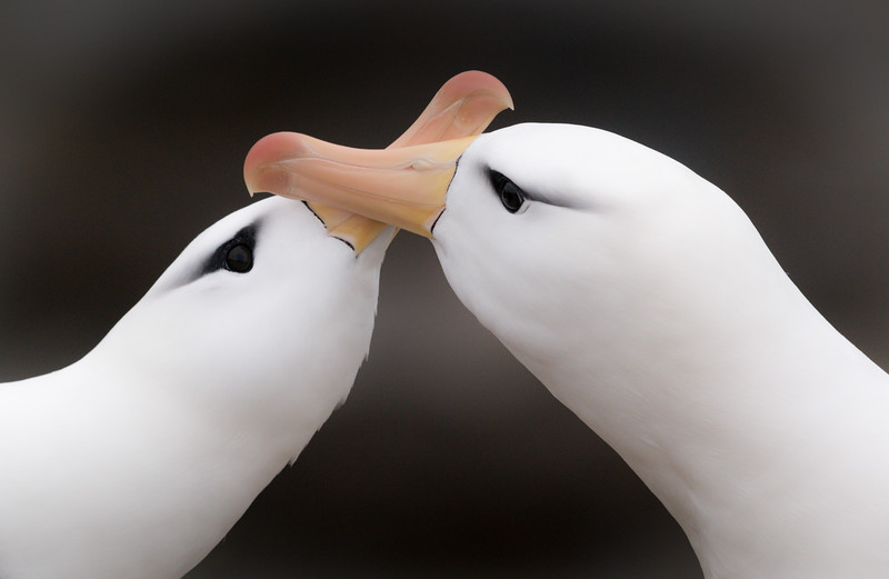 Pair black-browed albatross, Saunders Island