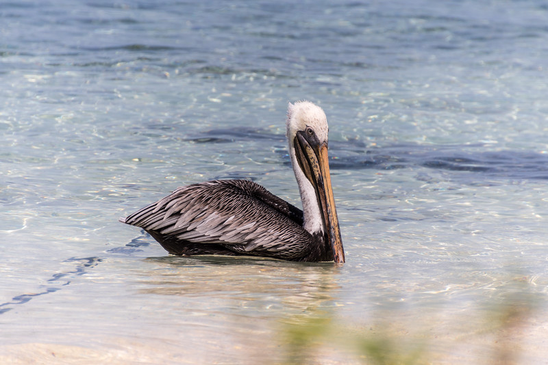 Brown Pelican, Carrie Bow Cay, Belize