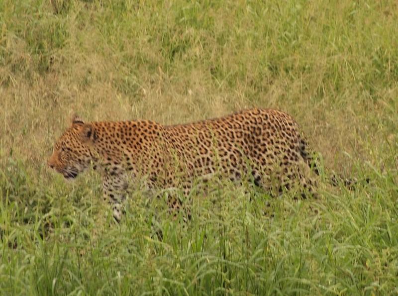 Leopard - Lisa Swenson
