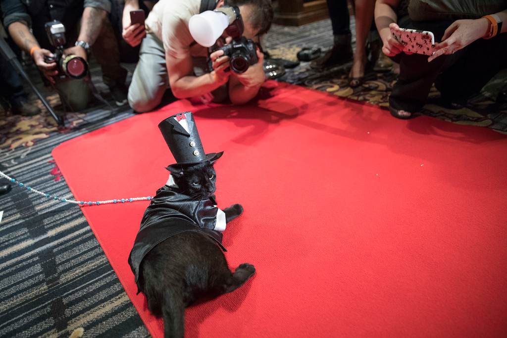 . In this Thursday, Aug. 2, 2018 photo, photographers take photos of Merlin, dressed in a 1920s tail tuxedo and top hat on the red carpet during the cat fashion show at the Algonquin Hotel in New York. The event is a fundraiser for the Mayor\'s Alliance for NYC\'s Animals, which helps support more than 150 animal shelters and rescues in New York. (AP Photo/Mary Altaffer)