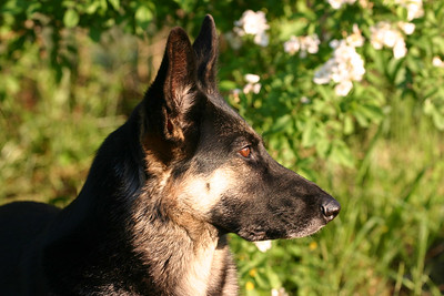 Matsi - German Shepherd