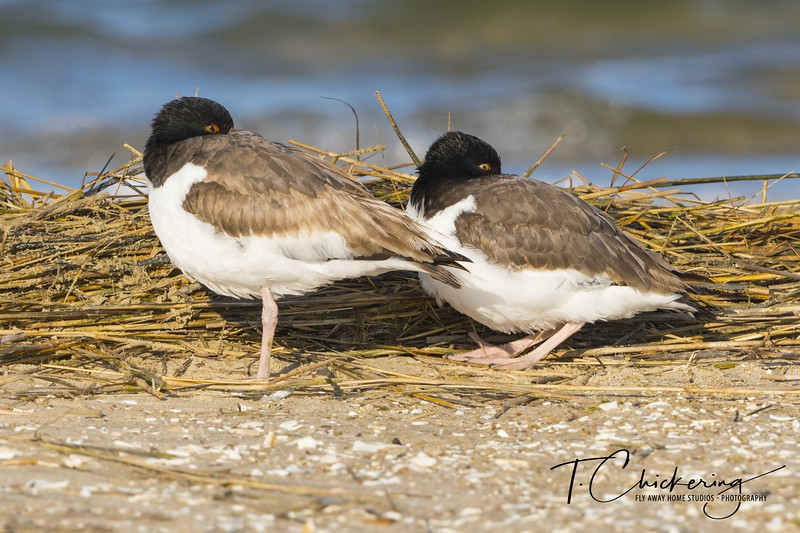 American Oyster Catchers at Rest.jpg