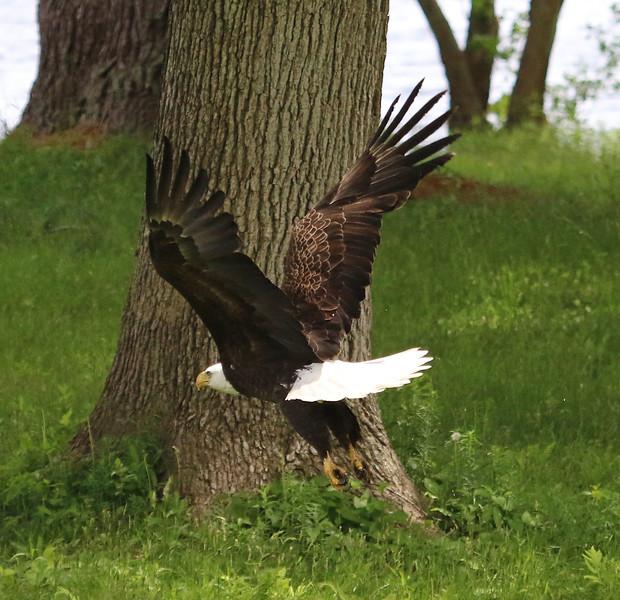 bald eagle wenham 3.jpg