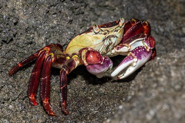 Leptograpsus variegatus - Purple rock crab