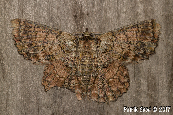 Common Brown Lopper Moth