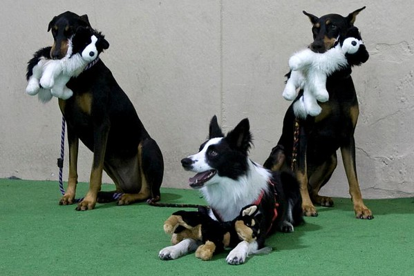 Dobes and Border Collies