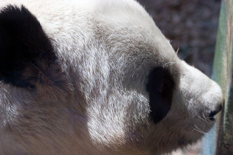 Yang Yang, Male, Giant Panda, Ailuropoda Melanoleuca, Zoo, Atlanta, Georgia, USA