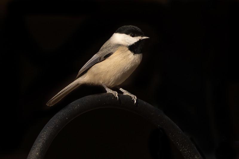 Chickadee-09565.jpg