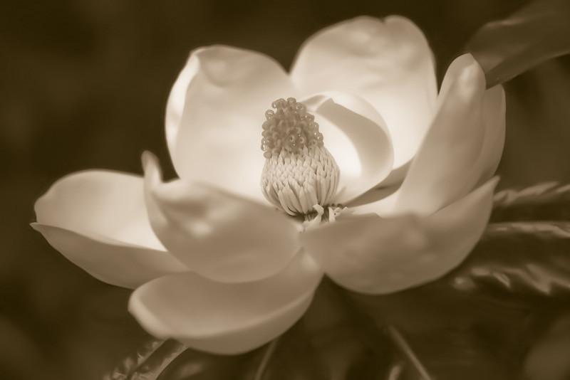 Magnolia 34