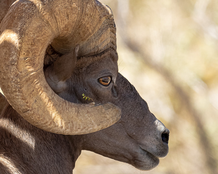 desert sheep profile.jpg
