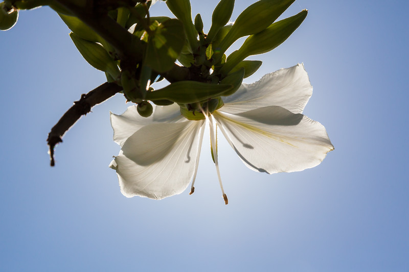 Magnolia tree's spring flowering