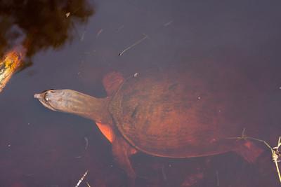TurtleLngNose DingDarlingFL_IMG_3134_11-02-02