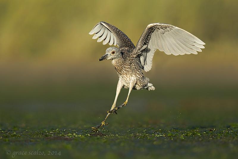 Yellow-crowned Night Heron Landing