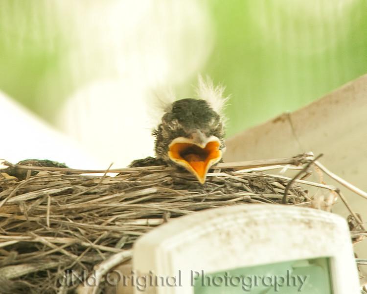 058 Baby Robins Spring 2013.jpg