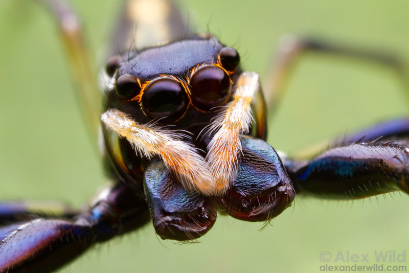 The large, forward-facing eyes of this predatory jumping spider (Salticidae) are capable of judging distance through a sophisticated mechanism involving defocused images in part of the color spectrum.  Cape Tribulation, Queensland, Australia