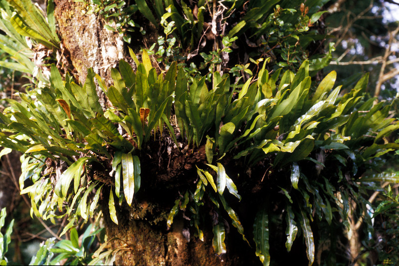 """Elaphoglossum aemulum This image is licensed under the Creative Commons Attribution-NonCommercial 3.0 Unported license.  You may share and adapt this work, but only with attribution (""""by Hank L. Oppenheimer"""") and only for non-commercial purposes unless permission is obtained from the copyright-holder (contact webmaster@hear.org)."""