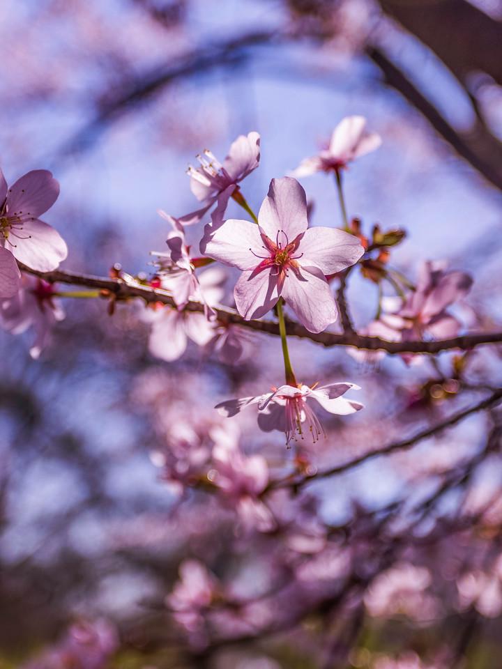 樱花,纯洁谦卑
