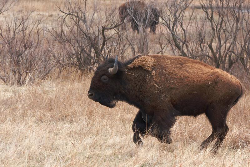 American Bison-10