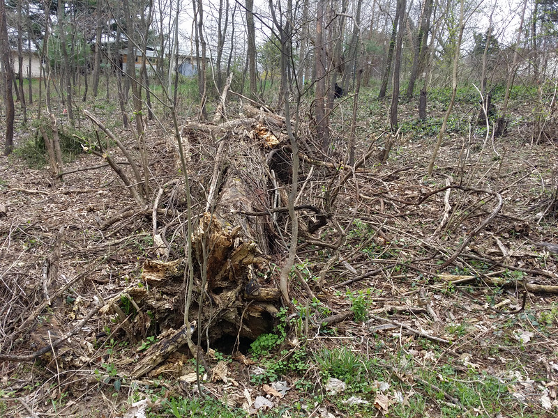 The willow was dead for nearly three years before it finally fell; and another year before I was able to find somone to clear around it.